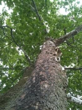 A Lotta Big Trees
