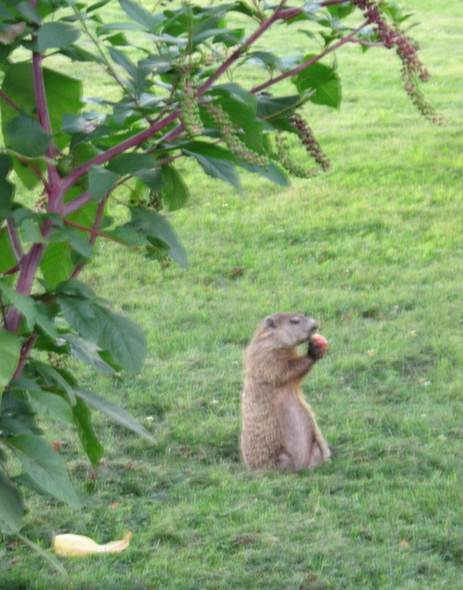groundhog eating apple