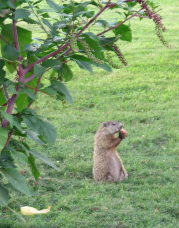 groundhog eating apple