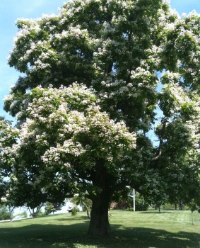 The Catalpa Forest