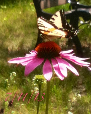 Purple coneflower and butterfly