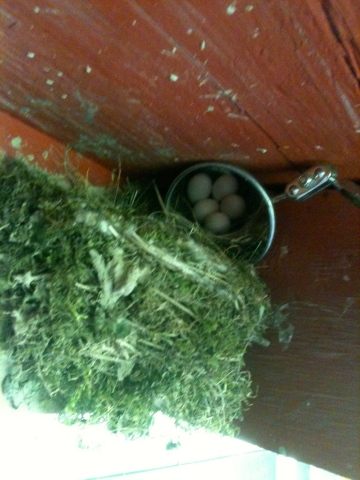Phoebe eggs in nest