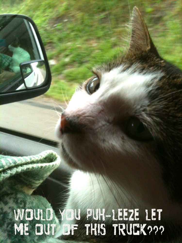 Henry the cat in the truck