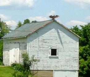 Buzzard on Barn roof