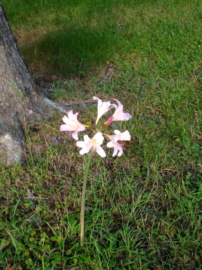 belladonna amaryllis