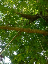 green canopy of a large maple