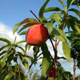 peaches at apple hill