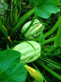 Unknown squash growing in the compost pile.