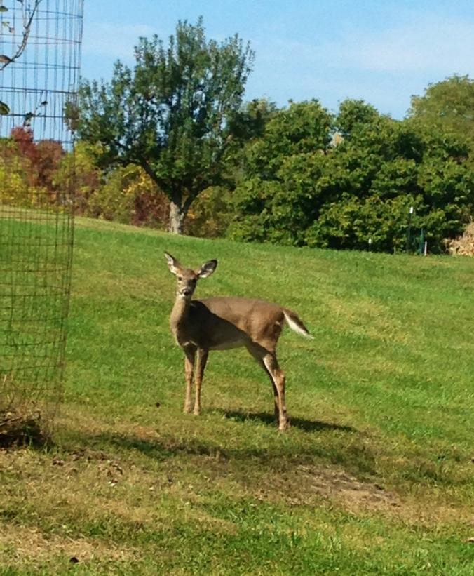 young deer posing
