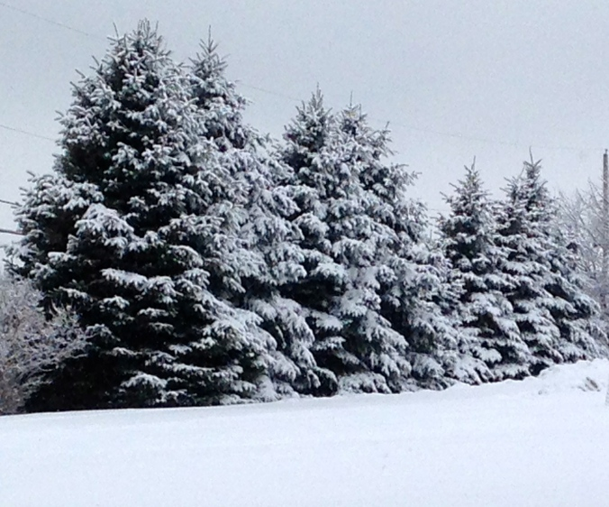 spruce trees in the snow