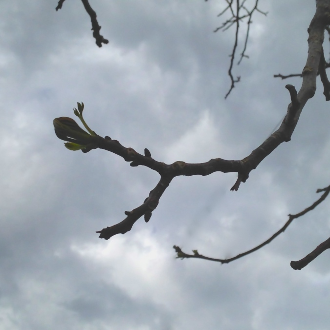 Walnut tree bud