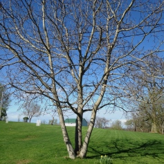 English walnut tree (Juglans regia)