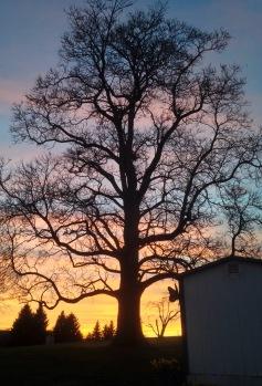 Catalpa Sunset