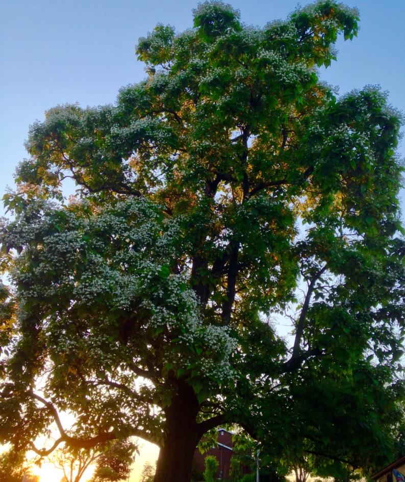 catalpa tree and sunset