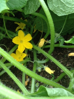 cucumber blossoms