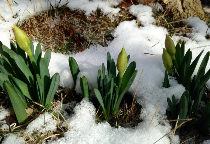 daffodil buds in snow