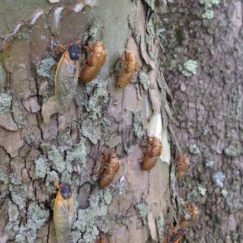 periodic cicadas on sycamore