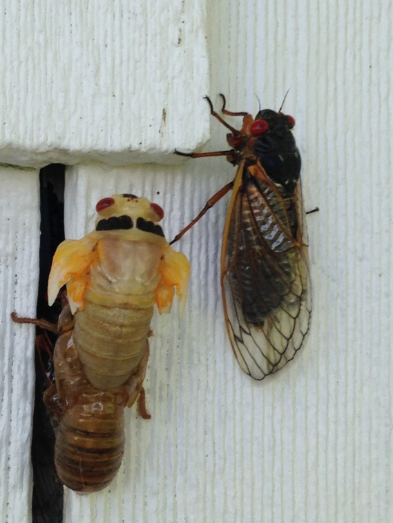 three stages of periodic cicada