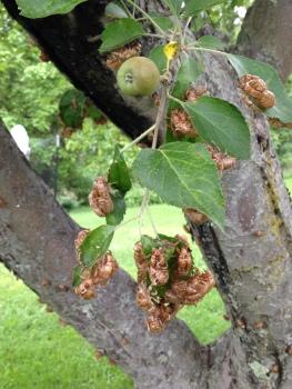 Seventeen Year Locusts on apple tree