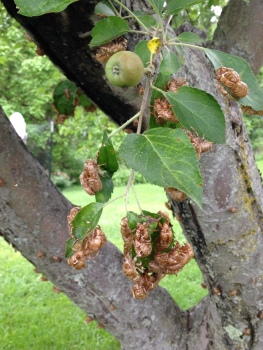 Seventeen Year Locusts on apple tree