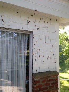 Periodic Cicadas on house wall