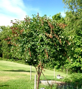 Cherry tree -- After