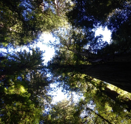 redwoods and sky