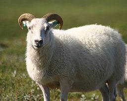 Icelandic Sheep Photo by biologyfishman via Wikimedia Commons.