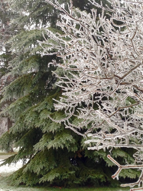 spruce and ice