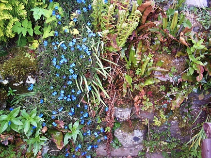 delicate rock garden Forget-me-not flowers in moss and stones