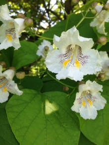 catalpa blossoms