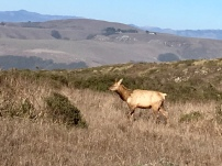 Tule Elk above Pt. Reyes National Seashore